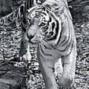 Terrific Tiger Art Print