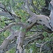 Texas Madrone Tree Limbs Art Print