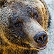 The Bear Head Shoot Art Print