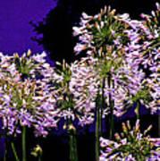 The Beauty Of Flowering Garlic Art Print