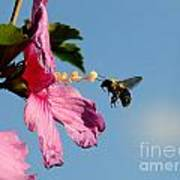 The Bumblebee And The Rose If Sharon Art Print