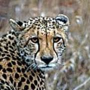 The Cheetah Stare Art Print