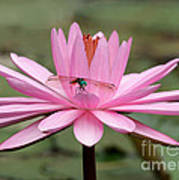 The Dragonfly And The Pink Water Lily Art Print