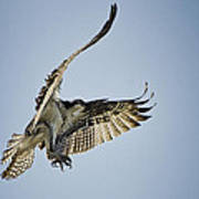 The Magnificent Osprey  Art Print