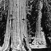 The Mariposa Grove In Yosemite Art Print