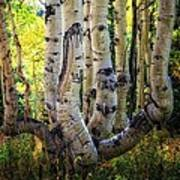 The Multiple Trunk Aspen Tree Art Print