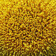 The Nature Of A Sunflower Art Print