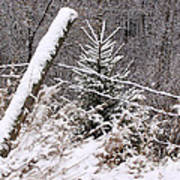 The Old Fence - Snowy Evergreen Art Print