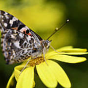 The Painted Lady And The Daisy  Art Print