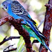 The Parakeet Art Print