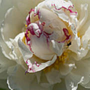 The Peony And The Ant Art Print