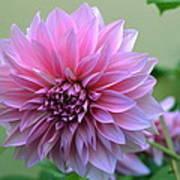 The Pink Dahlia-flower2 Art Print