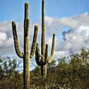 The Saguaros  Art Print