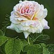The Splendor Of The Rose Art Print