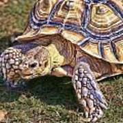 The Spurred Tortoise Art Print