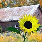 The Sunflower And The Barn Art Print