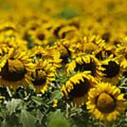 The Sunflower Patch II Art Print