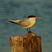 The Tern Art Print by Ernie Echols