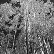 The Two Split Trees Bw Art Print