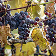 The Vineyard Art Print by Linda Mishler