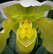 The Yellow Orchid Art Print