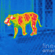 Thermogram Of A Tiger Art Print