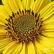Thinleaf Sunflower Art Print