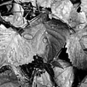 Thirsty Leaves Black And White Art Print