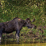 This Is Our World - No.16 - Moose Eating By The Lake Art Print