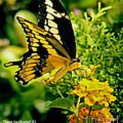 Thoas Swallowtail #1 Art Print