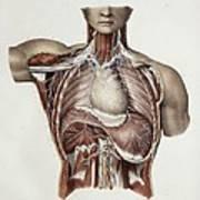 Thoracic Nerves, 1844 Artwork Art Print