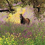 Thoroughbred Horse Among Wildflowers In The Chittering Valley, Western Australia Art Print by Peter Walton Photography