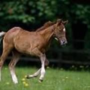 Thoroughbred Horse, National Stud Art Print