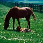 Thoroughbred Mare And Foal, Ireland Art Print