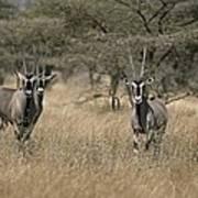 Three Beisa Oryxes In Kenyas Samburu Art Print