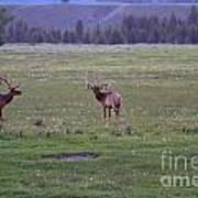 Three Bull Elk Art Print