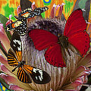 Three Butterflies On Protea Art Print