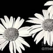 Three Daisy Amigos Art Print