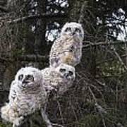 Three Great Horned Owl Bubo Virginianus Art Print