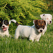 Three Jack Russell Terrier Puppies Art Print