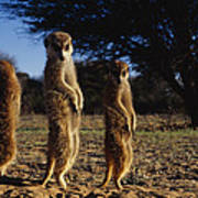 Three Meerkats With Paws Poised Neatly Art Print