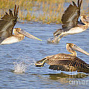 Three Pelicans Taking Off Art Print