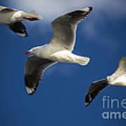 Three Silver Gulls Art Print