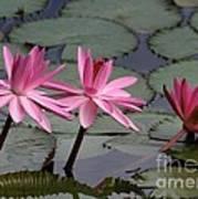 Three Sweet Pink Water Lilies Art Print