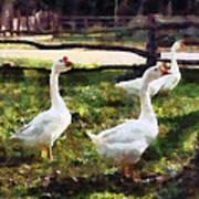 Three White Geese Art Print