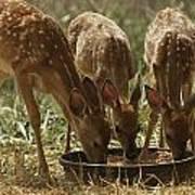 Three White-tailed Deer Fawns Art Print