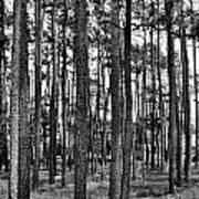 Thru The Pines Art Print