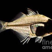 Tibetan Glassfish Art Print