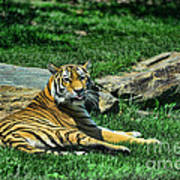 Tiger - Endangered - Lying Down - Tongue Out Art Print