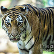 Tiger - Endangered - Wildlife Rescue Print by Paul Ward